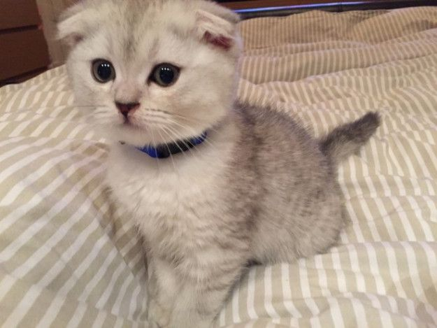 Very cute and playful Scottish fold kittens available.